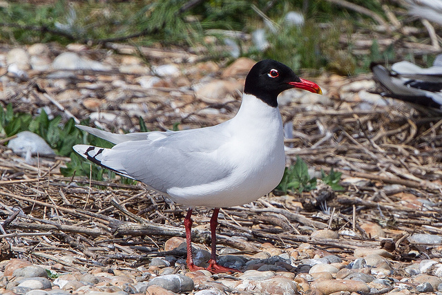 "Mediterranean Gull (Larus melanocephalus)  By: <a href=""https://flic.kr/p/eNvJBy"" target=""_blank"">Ron Knight</a>"
