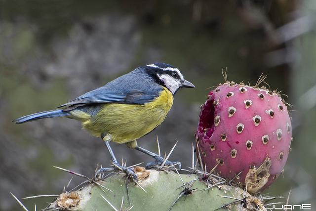 Herrerillo común (Cyanistes teneriffae hedwigii) By: Juan Emilio