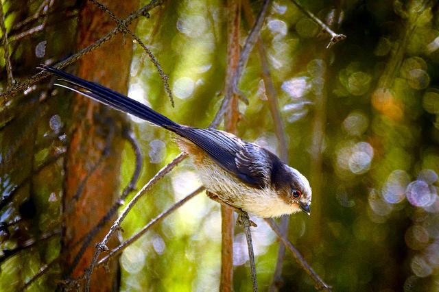 "Long-tailed tit By: <a href=""https://flic.kr/p/uuFmdd"" target=""_blank"">hedera.baltica</a>"
