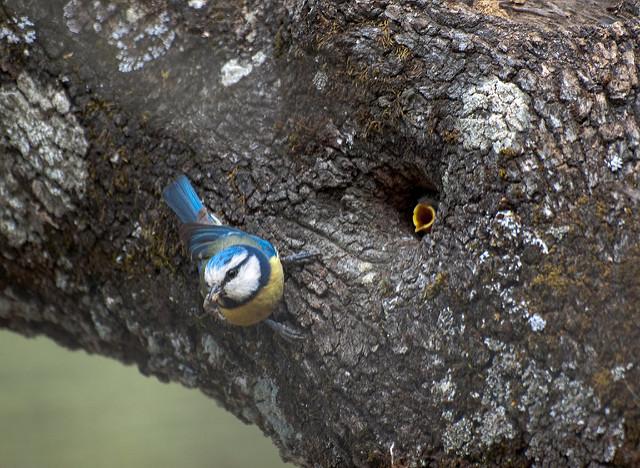 "Herrerillo común en nido (Parus caeruleus) Blue tit nexto to nest By: <a href=""https://flic.kr/p/6iXYiP"" target=""_blank"">hhhalberto</a>"