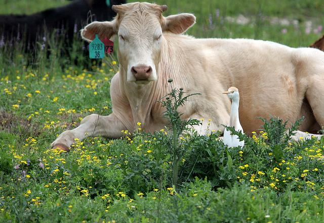"cattle egret By: <a href=""https://flic.kr/p/7Ui6J1"" target=""_blank"">InAweofGod'sCreation </a>"