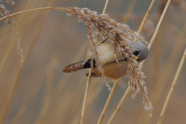 Baardmannetje, Bearded Tit (Panurus Biarmicus)By: Bernard Stam
