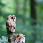 上の画像:Tawny Owl VI By: Nlck Jewell