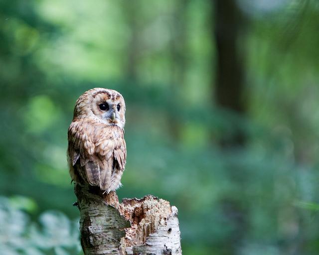 上の画像:Tawny Owl VI By: Nlck Jewell