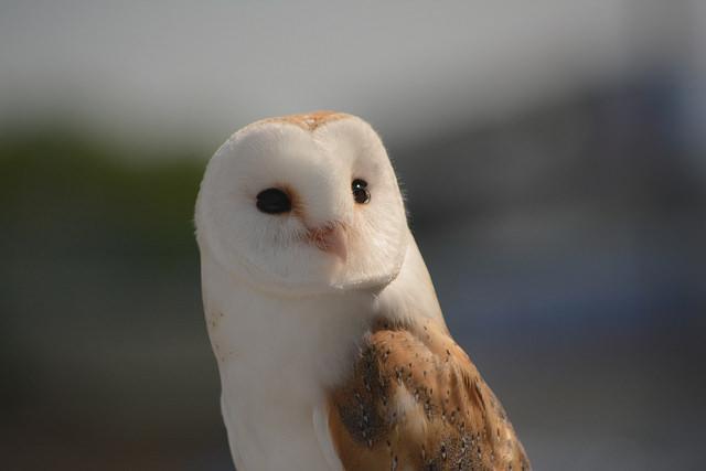 """Barn Owl - Explored By: <a href=""""https://flic.kr/p/GWKzVq"""" target=""""_blank"""">Clint Budd </a>"""