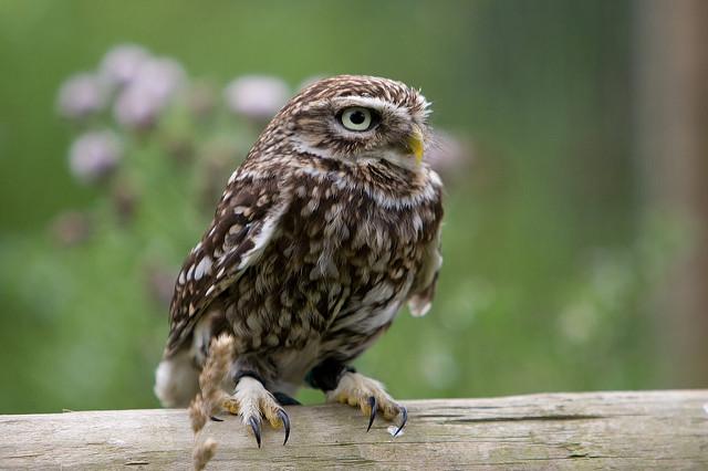 "Little Owl By: <a href=""https://flic.kr/p/2EHCh1"" target=""_blank"">Marc Evans</a>"