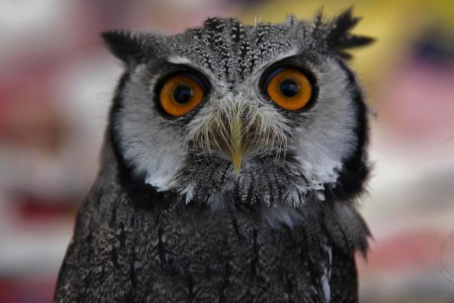 """White Faced Scops Owl By: <a href=""""https://flic.kr/p/fCy4K9"""" target=""""_blank"""">Jo Garbutt</a>"""