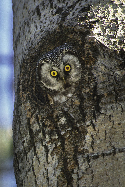 "Tengmalm Owl - Oulu 00 By: <a href=""https://flic.kr/p/qwwHYY"" target=""_blank"">Francesco Veronesi</a>"